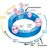 细胞流式周期检测